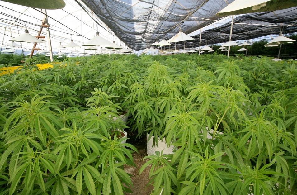 Nella serra 500 piante di marijuana l 39 imprenditore lascia for Serra per piante
