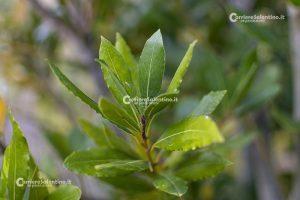 Φυτό και φυτό salanto: L'Aloro - Courier salantino